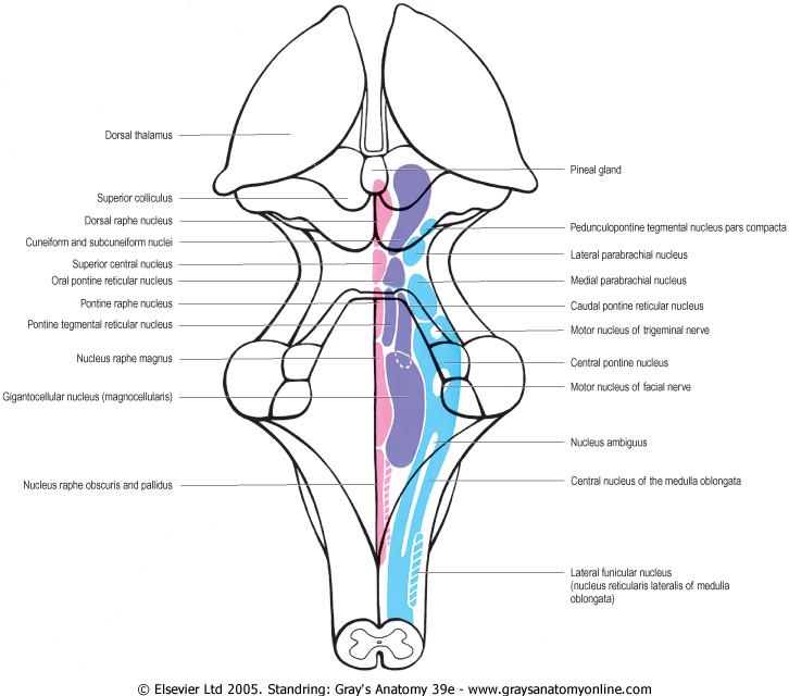 Brain Stem Reticular Formation