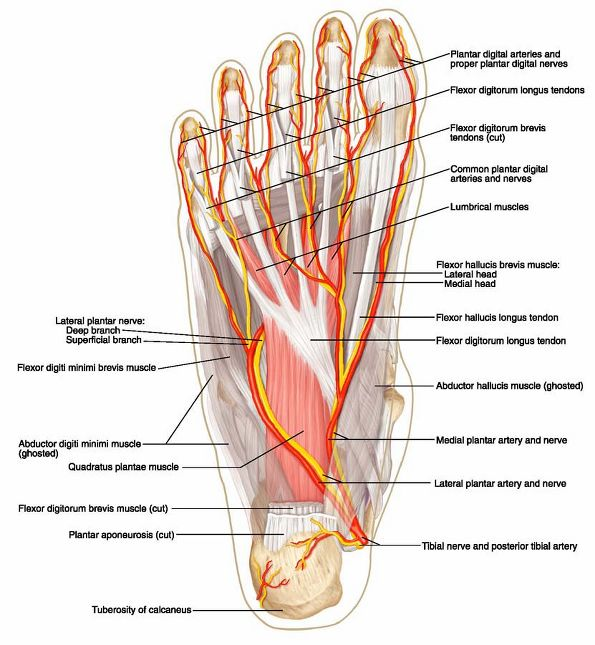 HumanNervesSpinalFoot on human anatomy nerves of the leg