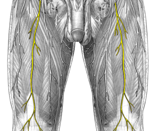 humannervesspinalthigh - ahuman wiki, Muscles